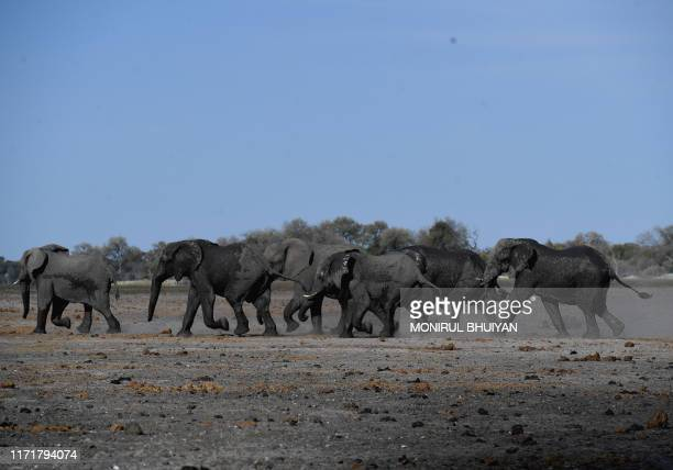 Elephants walk in one of the dry channel of the wildlife reach Okavango Delta near the Nxaraga village in the outskirt of Maun on 28 September 2019...