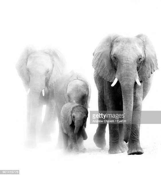 elephants walking against white background - white elephant stock photos and pictures