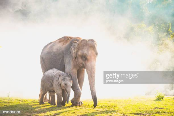 elephants walking in the tropical rainforest rice field at sunrise - asian elephant stock pictures, royalty-free photos & images
