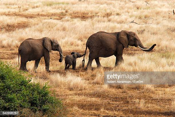 Elephants Walking On Dry Grassy Field