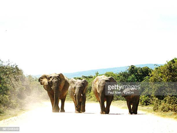 Elephants Walking On Road By Trees In Forest Against Clear Sky