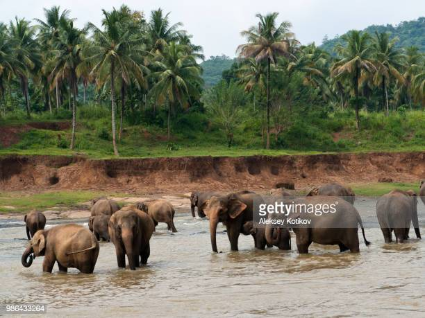 elephants watering bathing in a tropical river, pinnawala elephant orphanage, sri lanka - lanka stock pictures, royalty-free photos & images