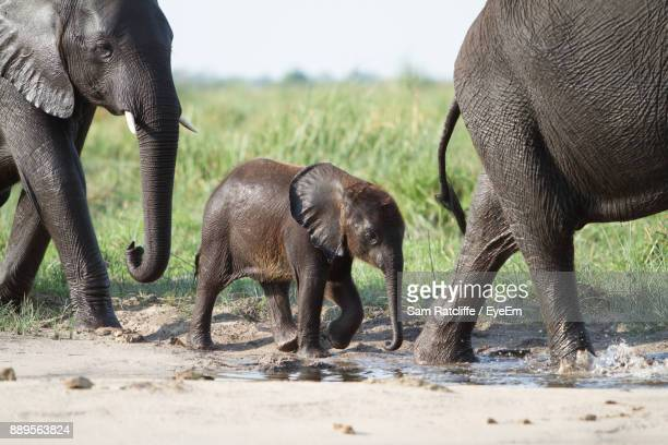 Elephants With Infant Walking On Footpath