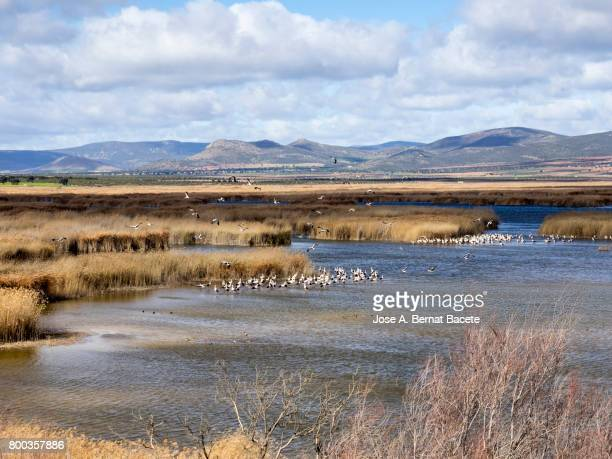 Elevated view lagoons of water surrounded with reed-grasses with aquatic birds , Tablas de Daimiel, Spain.