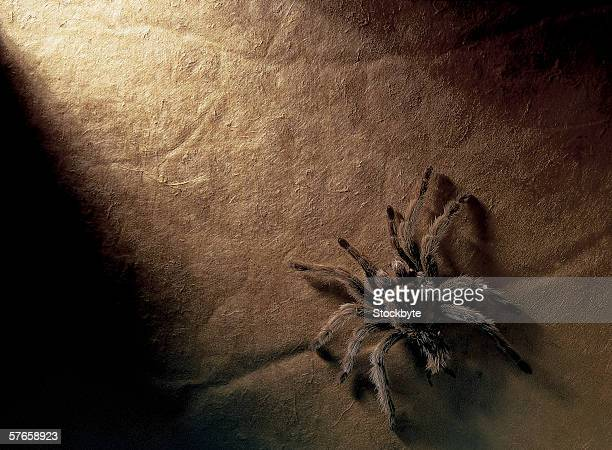 elevated view of a tarantula - ugly spiders stock photos and pictures