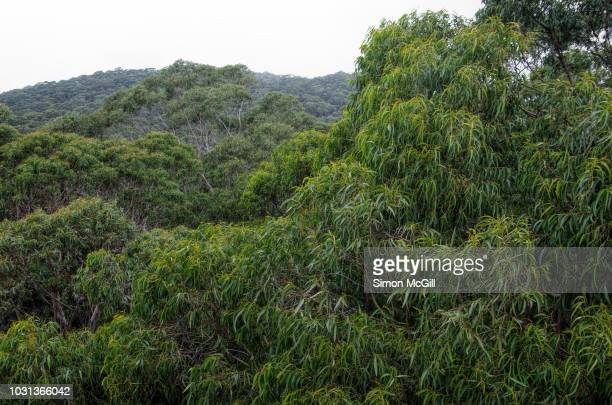 elevated view of eucalyptus trees in the warm temperate rainforest of the illawarra escarpment, knight's hill, new south wales, australia - eucalyptus tree stock pictures, royalty-free photos & images
