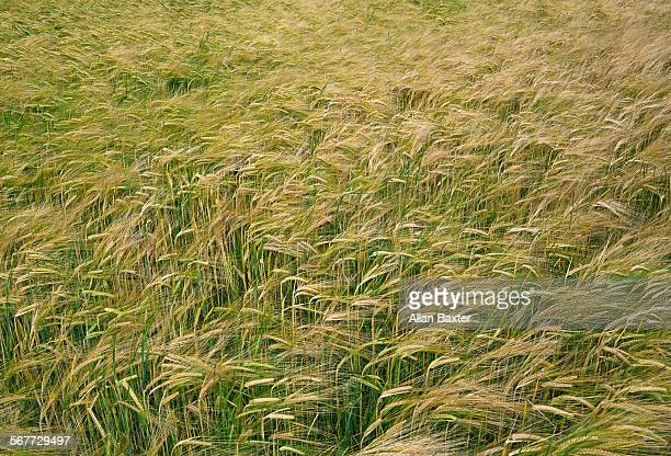 Elevated view of wheat in cornfield
