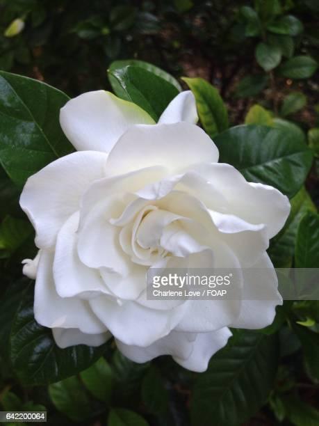 Elevated view of white gardenia flower