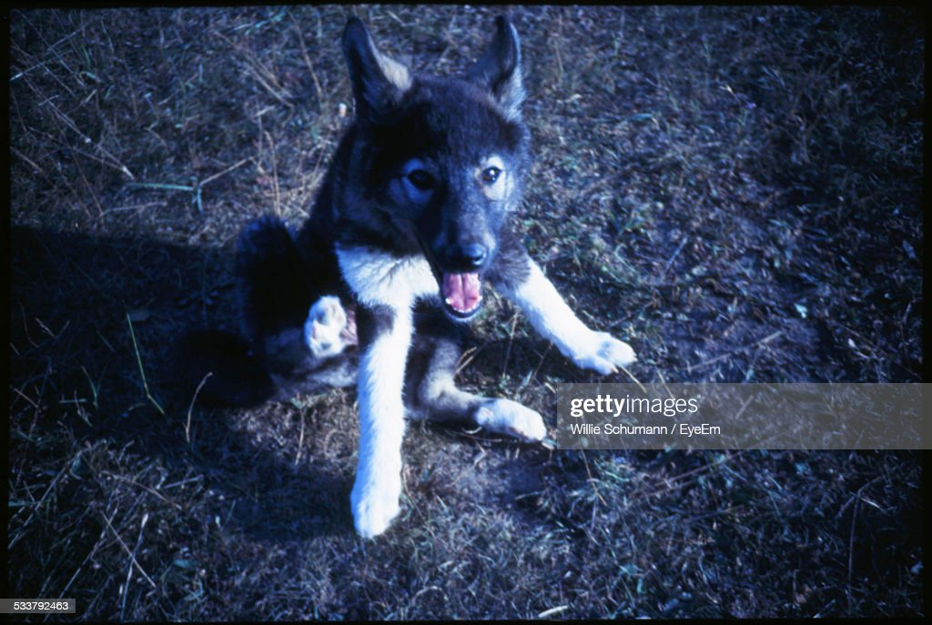 Elevated View Of Young Dog With Mouth Open : Foto stock
