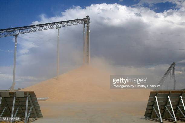 elevator deposits wheat onto 'stadium stacks' - timothy hearsum stock pictures, royalty-free photos & images