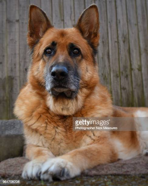 eleven year old male german shepherd relaxing in the back yard. - domestic animals stock photos and pictures