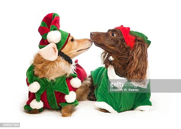 elf love - dachshund christmas stock pictures, royalty-free photos & images