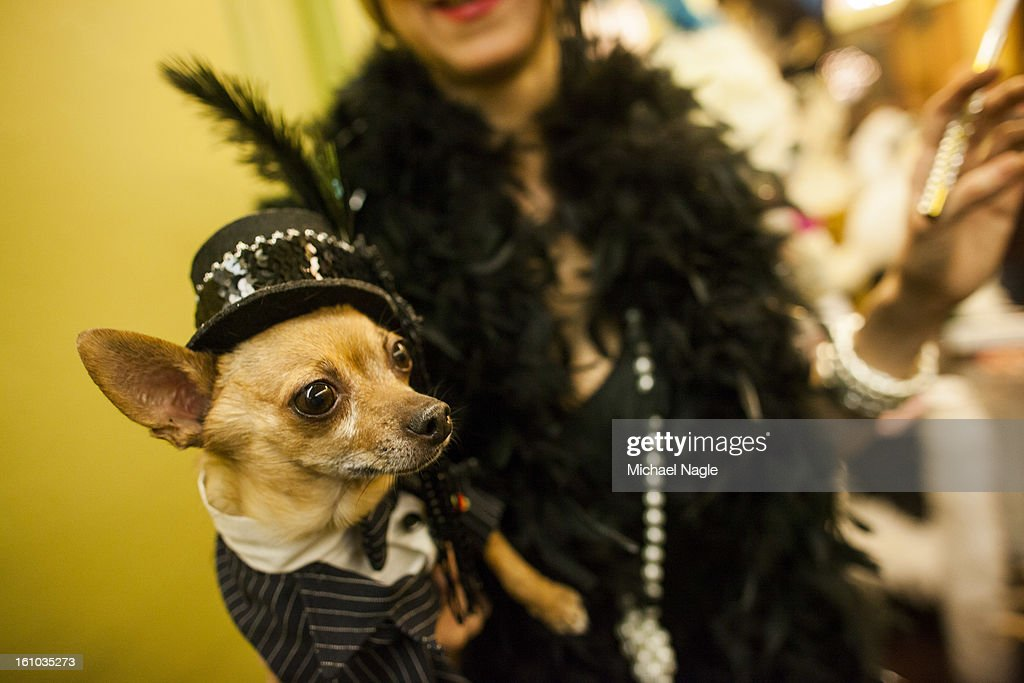Eli, a Chihuahua form the Upper West Side of Manhattan, poses on the red carpet at the New York Pet Fashion Show at Hotel Pennsylvania ahead of next week's Westminster Kennel Club Dog Show on February 08, 2013 in New York City. The Westminster Kennel Club Dog Show first held in 1877, is the second-longest continuously held sporting event in the U.S., second to the Kentucky Derby.