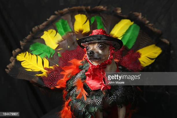 Eli a Chihuahua poses as a Thanksgiving turkey at the Tompkins Square Halloween Dog Parade on October 20 2012 in New York City Hundreds of dog owners...