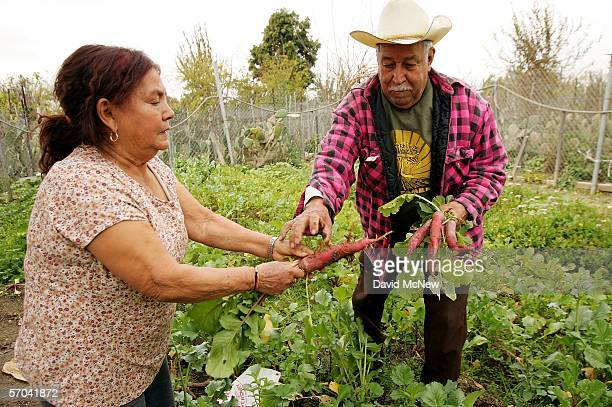 Elia Ortiz and wife Magalena harvest radishes at their garden plot at the South Central Community Farm on March 9 2006 in Los Angeles California...