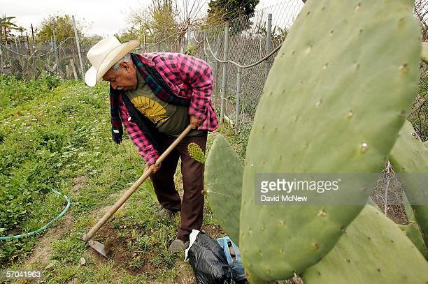 Elia Ortiz tends his garden plot at the South Central Community Farm on March 9 2006 in Los Angeles California Owner and developer Ralph Horowitz has...