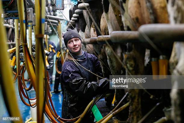 Elise Woolley a farmer at Moscar Farm suppliers of milk to Cropwell Bishop Creamery Ltd producers of Stilton cheese attaches a milking machine to...