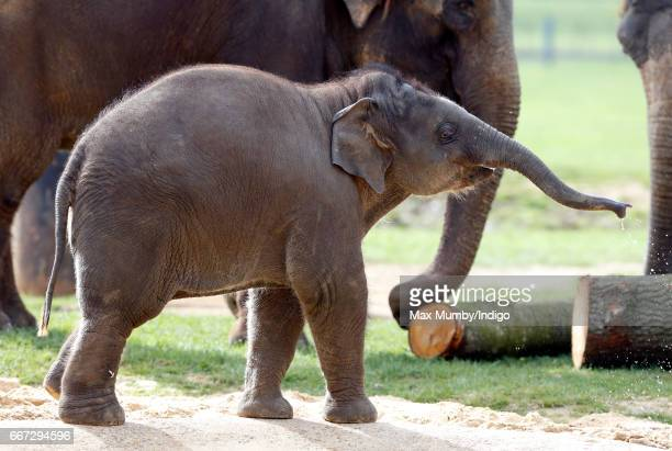 Elizabeth a 9 month old Asian Elephant named after Queen Elizabeth II seen during the opening of the new Centre for Elephant Care at ZSL Whipsnade...