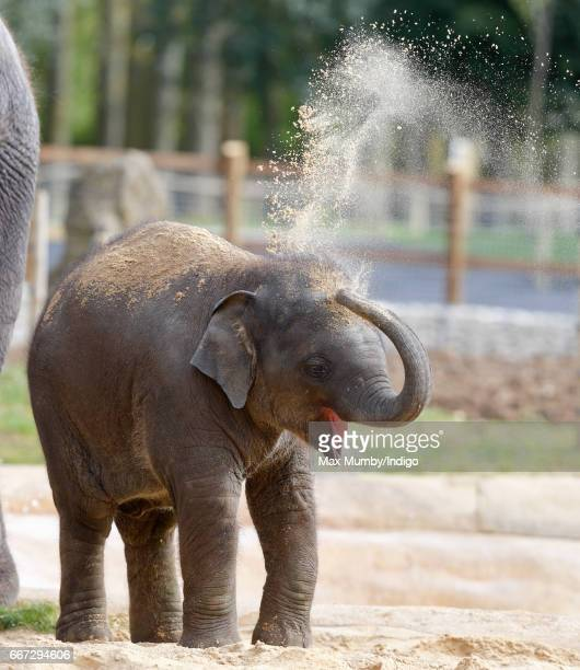 Elizabeth a 9 month old Asian Elephant named after Queen Elizabeth II plays in the sand during the opening of the new Centre for Elephant Care at ZSL...