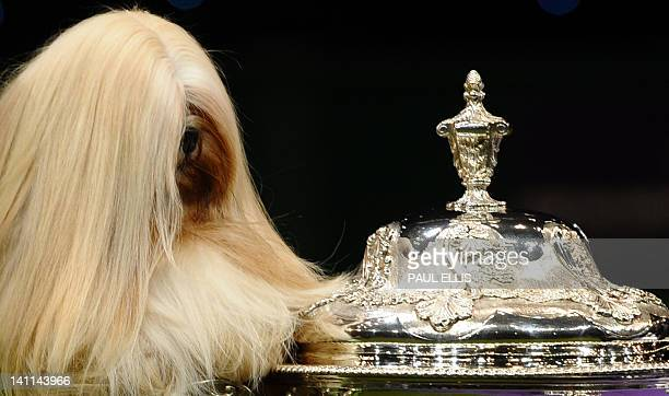 Elizabeth a Lhasa Apso from Coventry is held near the trophy after winning the Best in Show category of the Crufts Dog Show at The National...