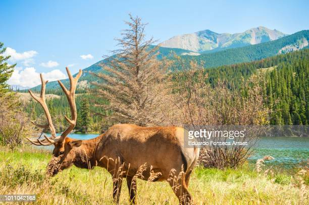 elk (wapiti) at jasper national park - canadian rockies stockfoto's en -beelden