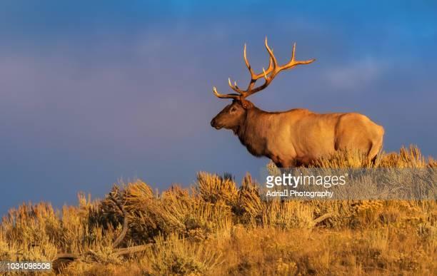elk at sunset - wapiti foto e immagini stock