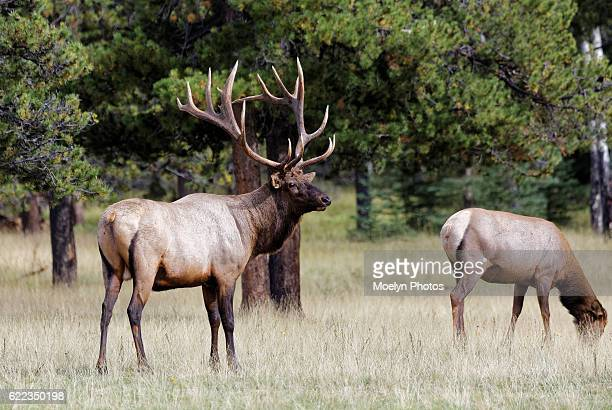 Elk Bull and Cow