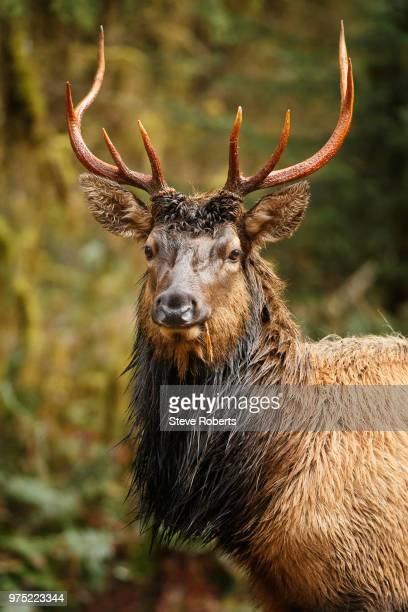 elk (cervus canadensis) bull, hoh rainforest, olympic penisula, washington, usa - olympic park stock pictures, royalty-free photos & images