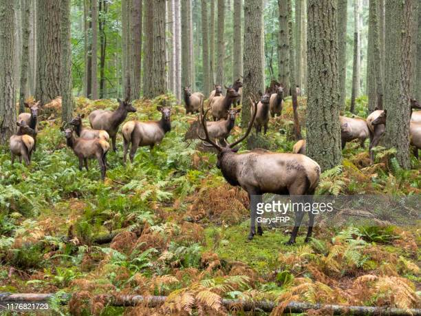 elk bull with cow harem forest trees ferns pacific northwest - animals in the wild stock pictures, royalty-free photos & images