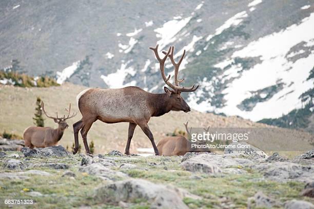 elk bulls, rocky mountain national park, colorado, usa - wapiti foto e immagini stock