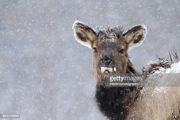 Elk Calf In Snowstorm