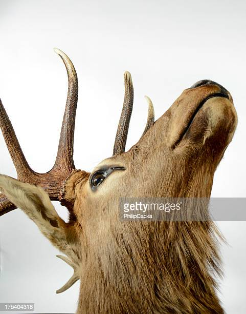 Elk Close-up from Underneath