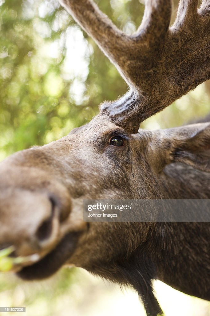 Elk closeup stock photo getty images elk close up stock photo publicscrutiny Image collections