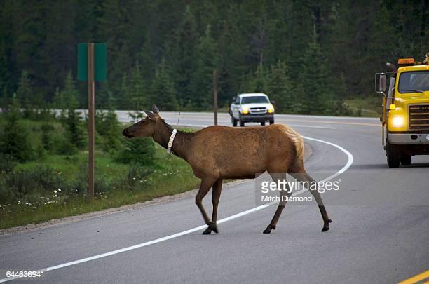 Elk crossing highway