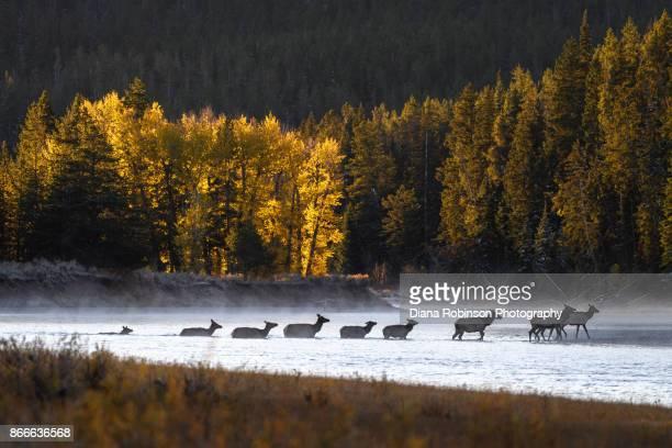 elk crossing the snake river just after sunrise, grand teton national park, wyoming - wapiti foto e immagini stock