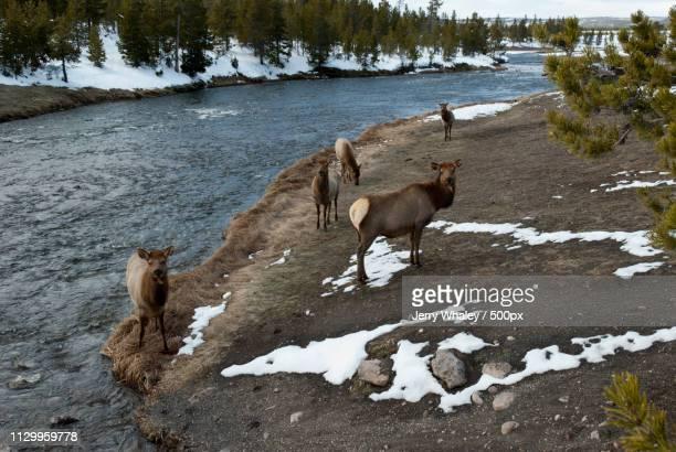Elk, Firehole River, Yellowstone Np