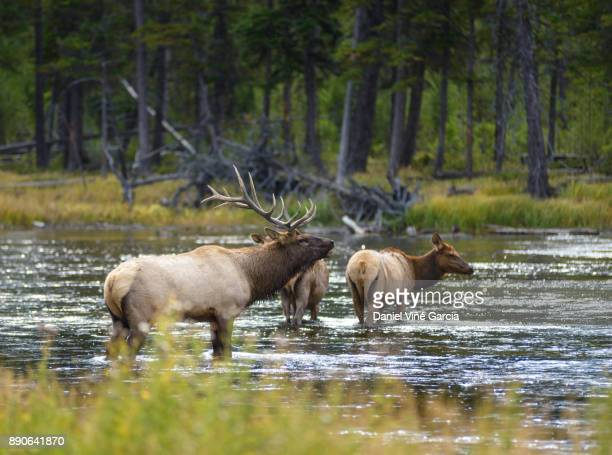 Elk grazing along the Madison River in Yellowstone