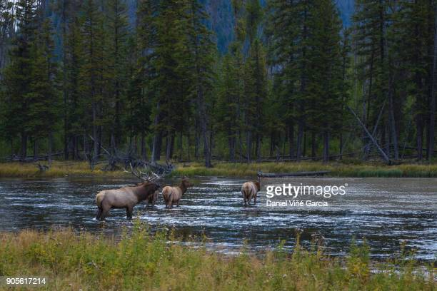 elk grazing along the madison river in yellowstone - yellowstone river stock photos and pictures