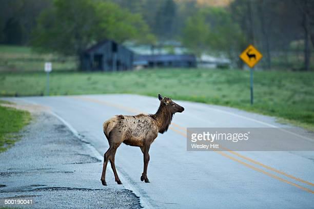Elk grazing at the Buffalo National River Arkansas