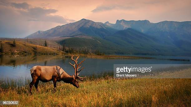 elk grazing - alberta stock pictures, royalty-free photos & images