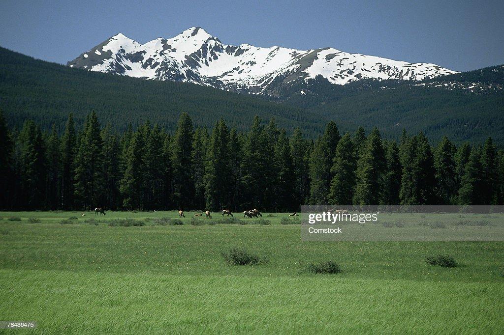 Elk herd grazing in alpine wilderness : Stockfoto