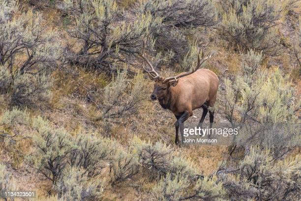 elk in autumn tutting season yellowstone usa - extinct stock pictures, royalty-free photos & images