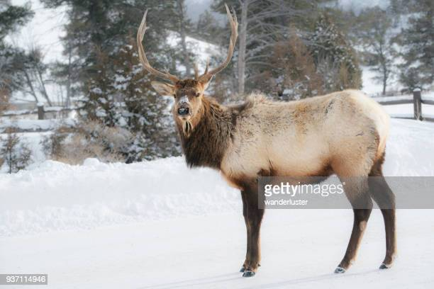 Elk in snow at Yellowstone