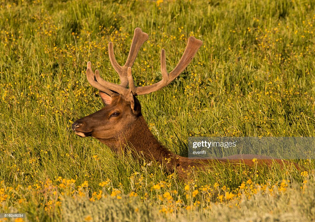 Elk in the meadows, Yellowstone National Park : Stock Photo