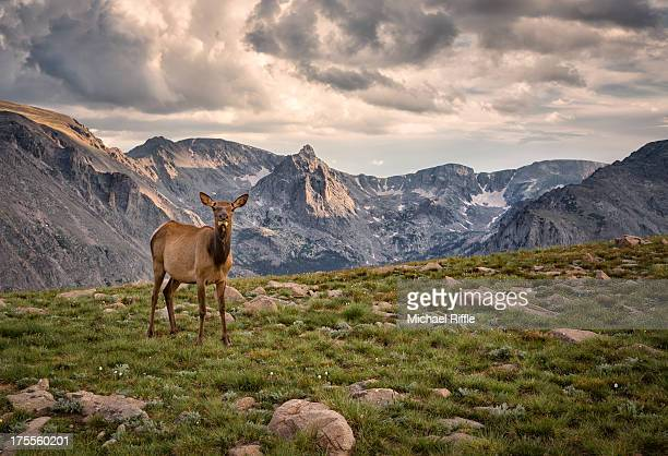Elk in the mountains, Rocky Mountain National Park