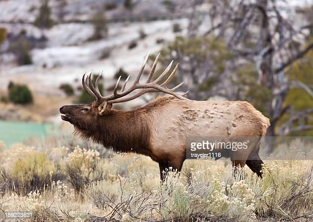 elk di yellowstone - wapiti foto e immagini stock