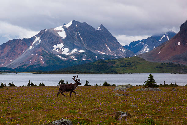 Elk, Jasper National Park, Alberta, Canada
