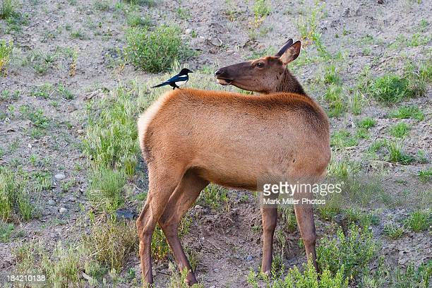 Elk Looks at Magpie on its back