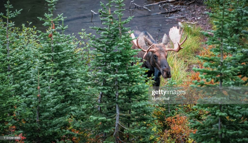 Elk (Alces alces) looks through trees, Upper Two Medicine Lake, Glacier National Park, Montana, USA : Stock Photo