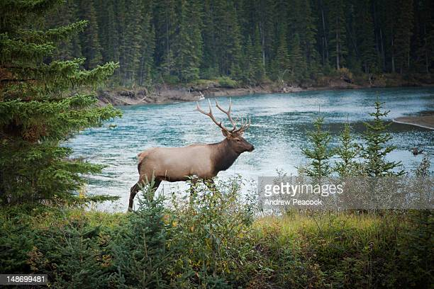 elk (cervus canadensis) near bow river. - bow river stock pictures, royalty-free photos & images